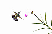 Purple-throated Mountaingem - Lampornis calolaemus flying to feed on a flower.  Created as a high key image