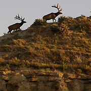A family of elk scale a butte near Medora, North Dakota.  Located in the Badlands, Medora is a true western town.  Nearby Theodore Roosevelt National Park draws thousands of visitors each year to the western border.  photo by David Peterson