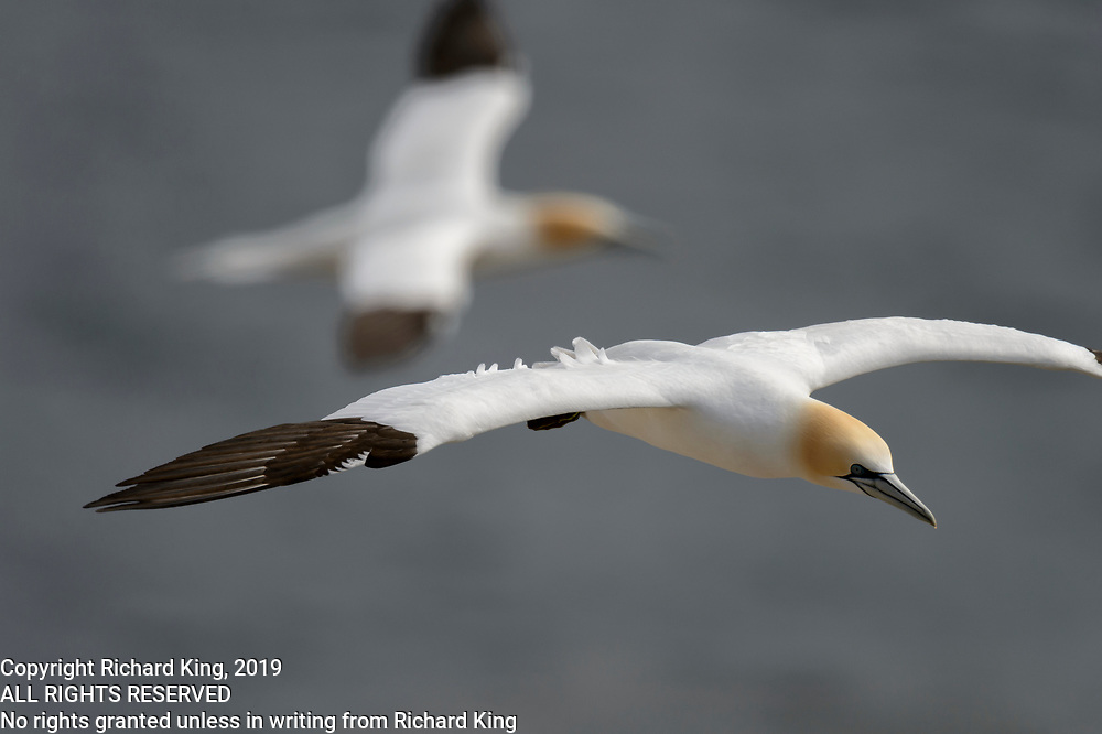 Bird photography from Cape St. Mary NL Canada