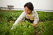 "07 APRIL 2010 - LAO NOI, NAKHON PHANOM, THAILAND: PRIK, harvests celery and dill from her garden near the Mekong River, which is behind her. She said her yield this year will be a fraction of what was last year. She grows vegetables and her husband fishes. Normally the river flows completely through the river bed but it's currently running through a channel in the bottom of the river bed. According to people who live here, the river is at its lowest point in nearly 50 years. Prik said she doesn't know why the river is so low ""Some say China has built dams that stops the water. Others say it is less rain. I don't know, I just know that when it floods it is much worse and much faster now - sometimes the river rises three meters in one day - and when it is dry, it is very, very dry."" Many of the people who live along the river farm and fish. They claim their crops yields are greatly reduced and that many days they return from fishing with empty nets. The river is so shallow now that fisherman who used to go out in boats now work from the banks and sandbars on foot or wade into the river.     PHOTO BY JACK KURTZ"