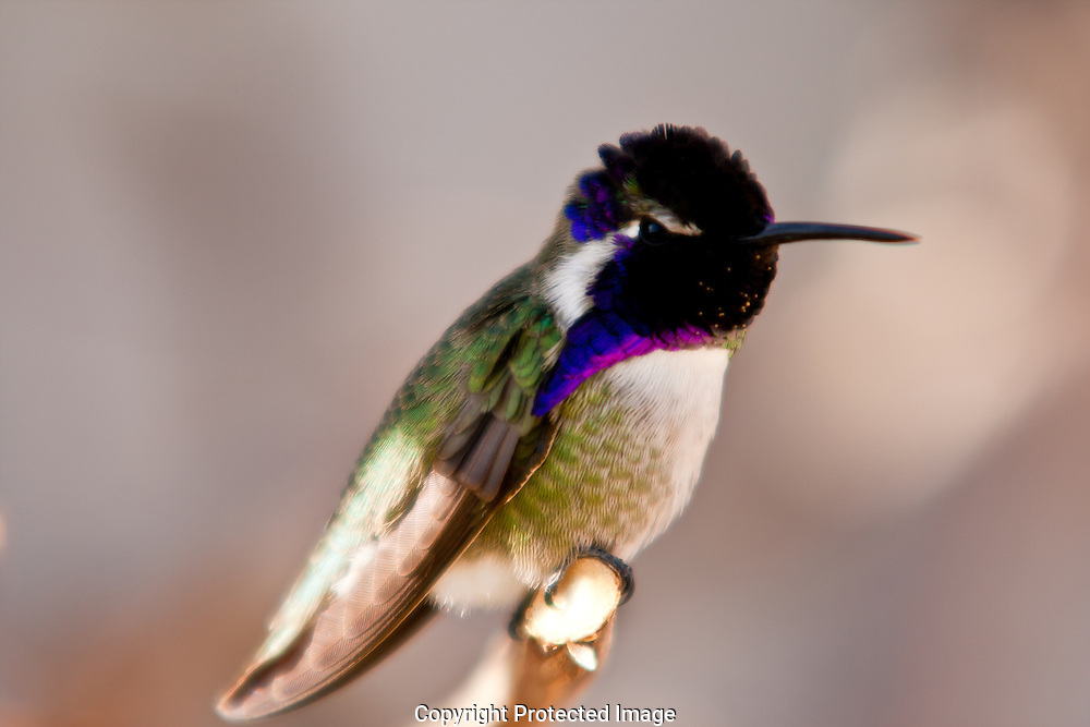 Vivid colors of a male Costa's Hummingbird are revealed as he perches on a limb