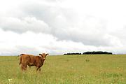 Das Kalb ist eine Angus Kreuzung. Aufgenommen in der Halboffenen Weidelandschaft oder Hudelandschaft in Crawinkel.