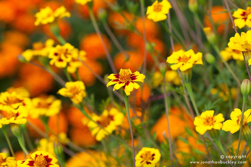Tagetes patula 'Bo Jangle'. Marigold