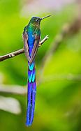 Violet-tailed Sylph (Aglaiocercus coelestis) male. Pueblo Rico, Risaralda.