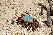 Fiddler crab (Uca tetragonon) without fully grown claws Photographed in a Mangrove swamp, Seychelles Curieuse Island in September