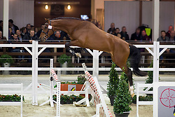088, Igelo<br /> BWP Hengsten keuring Koningshooikt 2015<br /> © Hippo Foto - Dirk Caremans<br /> 21/01/16