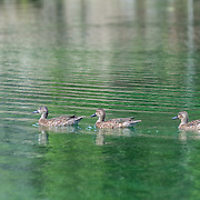 Ducklings swimming in one of the many water channels at Mayakoba, Riviera Maya. Mexico.