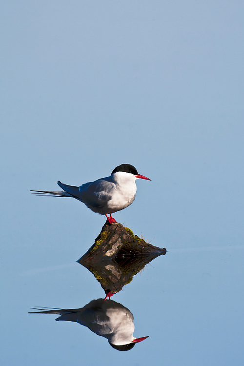 Alaska.  Adult Arctic Tern (Sterna paradisaea) standing on short wooden stump in Potter Marsh surrounded by placid water reflecting the early morning blue sky in May.  (Minor surface debris removed.)