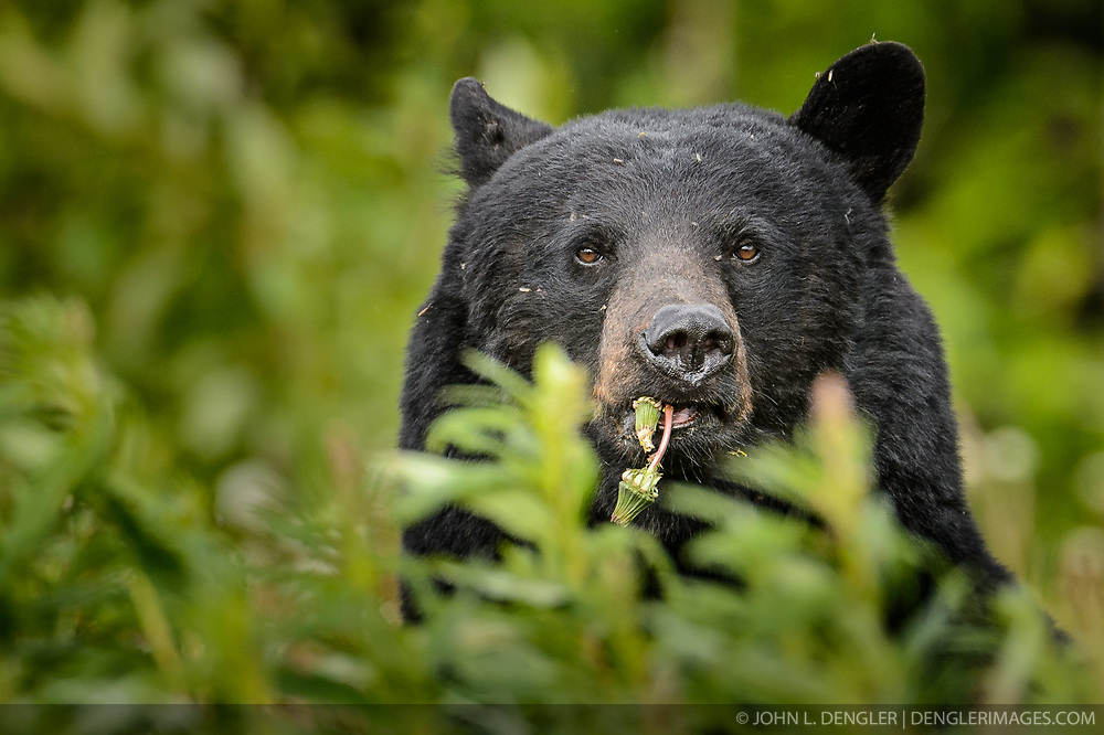 An American black bear (Ursus americanus), eats dandelions just outside the boundary of Kluane National Park and Preserve along Yukon Highway 3, near Gribbles Gulch in the Yukon Territory, Canada. While most of a black bear's diet is vegetation, black bears are omnivores meaning that they eat both plants and animals (grasses, berries, roots, insects, fish and mammals). Black bears typically weight 200 to 600 pounds. Not all black bears are black in color -- some are brown or even blond. They are most easily distinguished apart from grizzly bears by the lack of the pronounced shoulder hump found in a grizzly bear. The black bear is not considered to be a threatened species, though care to keep them from getting human food and garbage is needed to protect them from conflicts with humans. Kluane National Park and Reserve is known for it's  massive mountains, spectacular glacier and icefield landscapes including Canada's tallest peak, Mount Logan (19,545 ft.). The 5.4 million acre park is also known for it's wildlife, including grizzly bears, wolves, caribou and Dall sheep. The park is one of a collection of U.S. and Canadian national and provincial parks that form the largest international protected area in the world. Kluane National Park and Reserve was selected as a UNESCO World Heritage Site for being an outstanding wilderness of global significance. EDITORS NOTE: Image is a slightly cropped version of Image ID: I0000hi_N20NHKOQ.