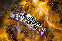 Hypselodoris nudibranch, Seraya, Bali, Indonesia. Seraya is located on Bali's NE coast and has become very popular with divers and photographers searching for unusual species.  The signature site, 'Seraya Secrets' has a barren sand floor with small patches of sponge and other encrusting life, and rocks in the shallows. Bali is a very popular holiday destination for divers and offers a wide variety of different types of diving, from reefs and wrecks to mucks sites such as Puri Jati and Gilimanuk.