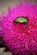 "A metallic green Cetonia aurata (rose chafer or goldsmith beetle) crawls on a magenta/pink thistle in Aoos River Valley, in Vikos-Aoos National Park, Zagoria, Epirus/Epiros, Greece, Europe. Green and magenta hues are ""complements"" of Color Theory. Zagori (Greek: Ζαγόρι) is a region and a municipality in northwestern Greece containing 45 villages collectively known as Zagoria (Zagorochoria or Zagorohoria). Published in ""Light Travel: Photography on the Go"" book by Tom Dempsey 2009, 2010."