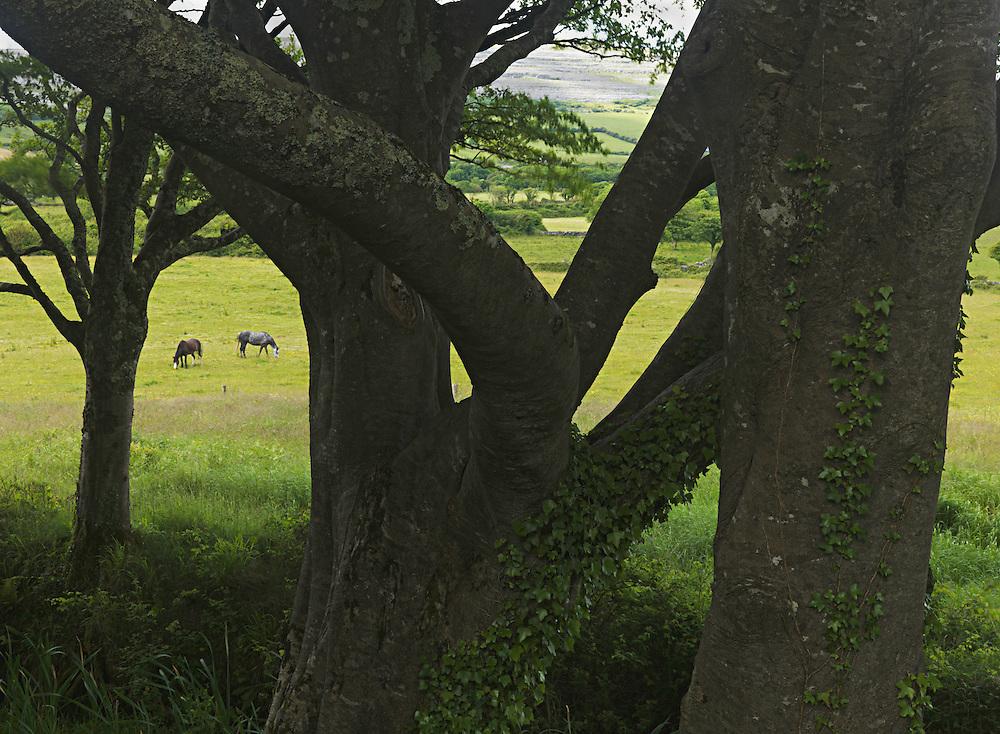 Ireland, western coast, Burren region, horse pasture with trees