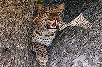 Leopard resting in a tree, Kwando Concession, Linyanti Marshes, Botswana.