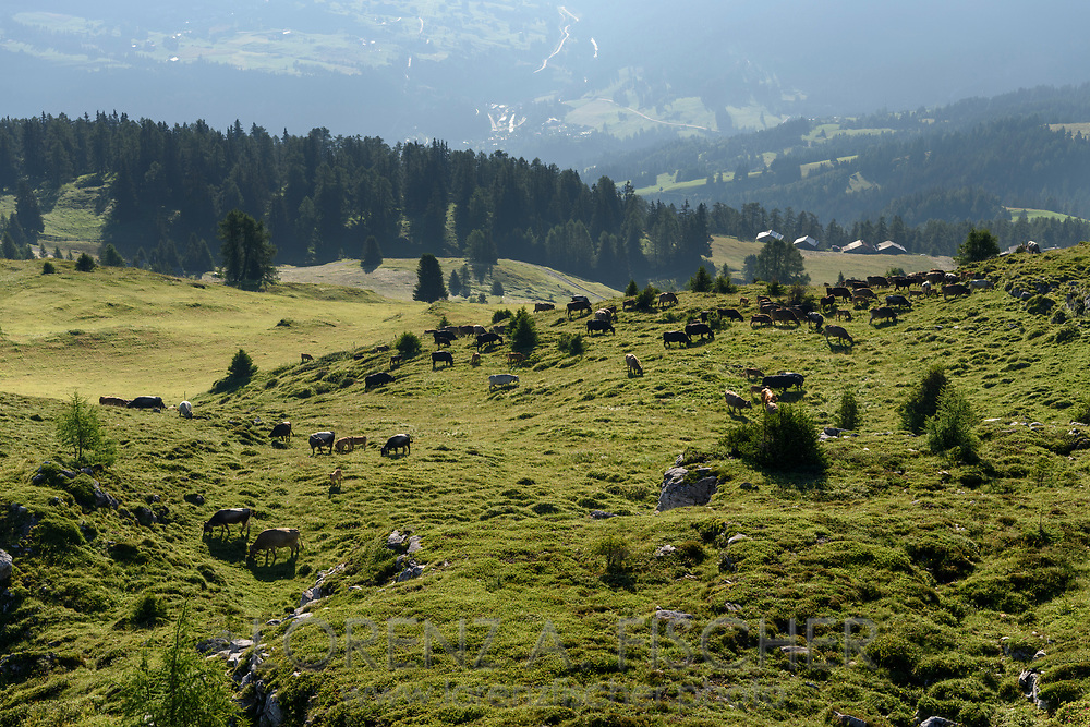 Eine Herde von Mutterk&uuml;hen auf einer Weide auf der Alp Stierva, Parc Ela, Graub&uuml;nden, Schweiz<br /> <br /> A suckler cow herd on pasture on the alp Stierva, Parc Ela, Grisons, Switzerland