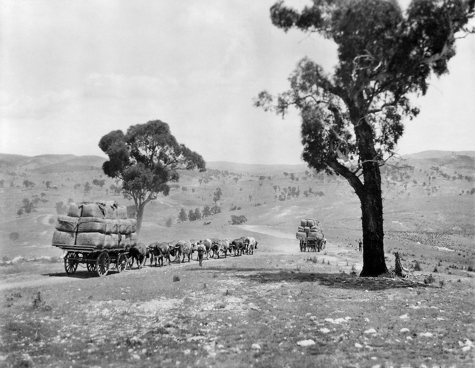 Bullock Train With Wool Bales, New South Wales, Australia, 1930