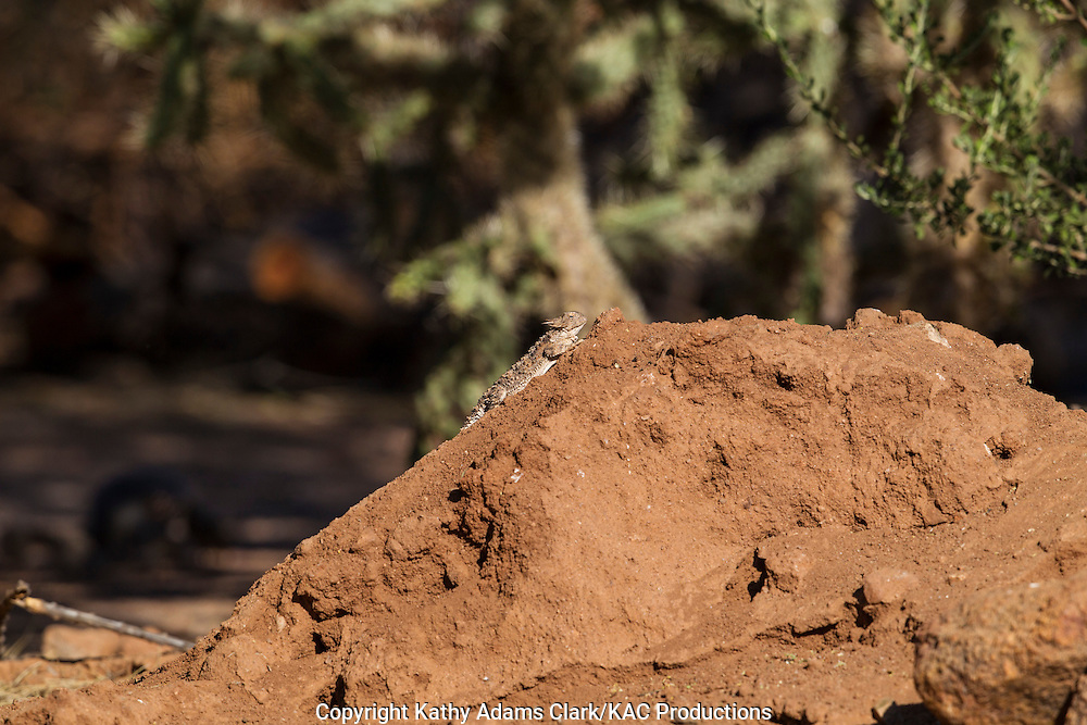 Regal horned lizard, Phrynosoma solare, southern Arizona.