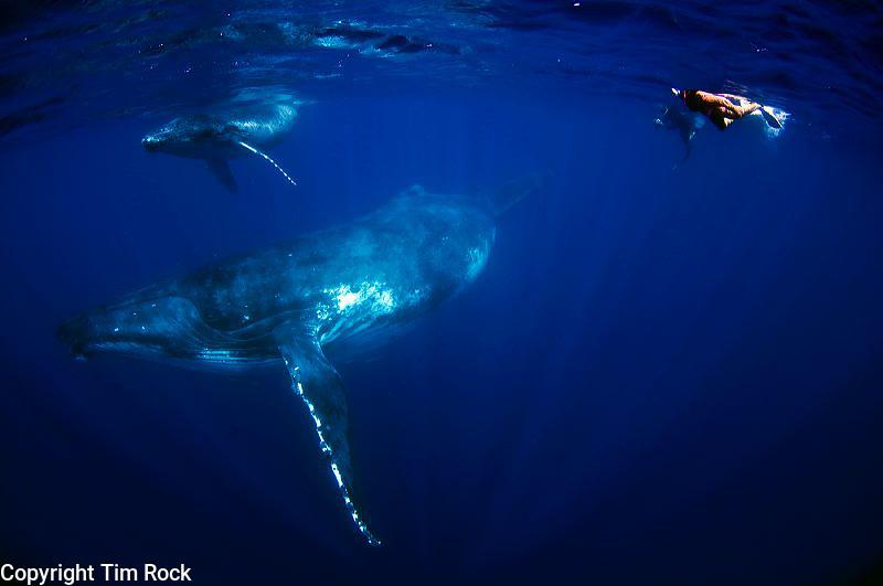 Tonga southern humpback whales and the Vava'u and Tonga Tapu areas of the country