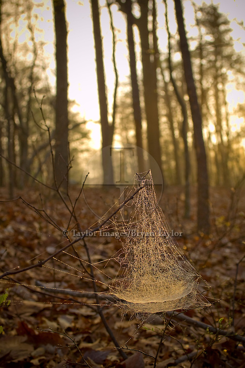 Covered in the early morning dew, a spider's cob web glows in the sun's early morning light in Hanging Rock State Park in North Carolina.