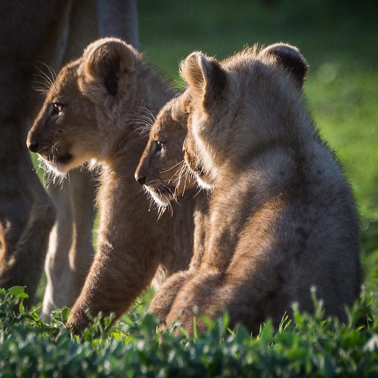 Lion cubs, Ngorongoro Crater