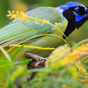 A green jay sits on huisache tree in the brush country of south Texas near Corpus Christi.