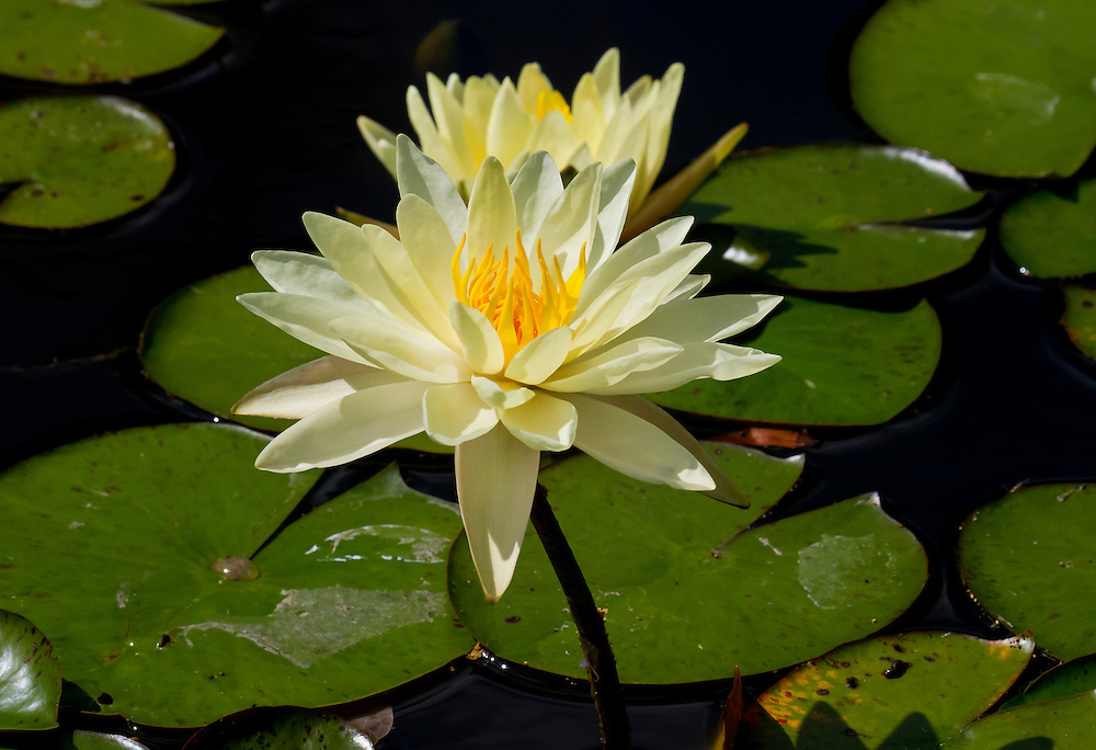 A mellow yellow water lily.