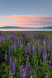 """Tahoe Lupine at Sunrise 3"" - These Lupine wildflowers and sunrise were photographed at Lake Forest Beach, Lake Tahoe."