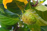 Noni, Morinda citrifolia, Maui Nui Botanical Gardens, Kahului, Maui, Hawaii