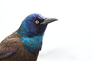Stock Photo of Common Grackle captured in Colorado.  The grackle is a noisy bird that prefers to feed on the ground in open areas