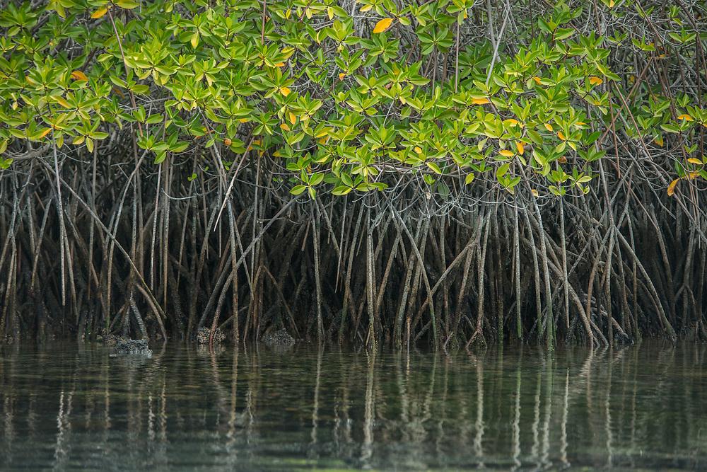 Red Mangrove (Rhizophora mangle)<br /> Elizabeth Bay, Isabela Island<br /> Galapagos<br /> Ecuador, South America