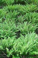 Fronds of many fern plants.
