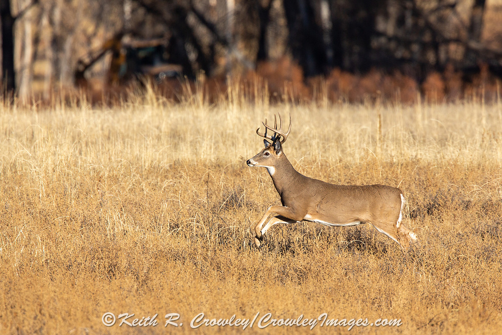 Mature whitetail buck running in autumn habitat