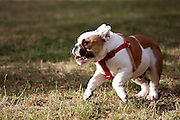 This is Dave, a 3-month-old English Bulldog puppy