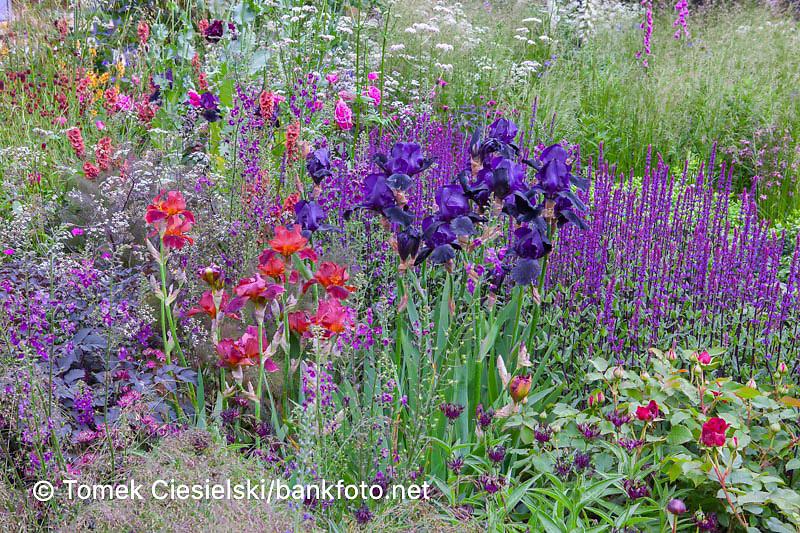 Iris germanica 'Black Swan' between full of blossom flowerbed