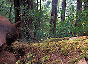 A wild brown phase black bear (Ursus americanus) peers at a remote camera in the Willamette National Forest, Oregon.