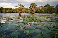 Cypress trees along the bank of Flat lake, a brackish tidal estuarine sytem is South Louisiana.