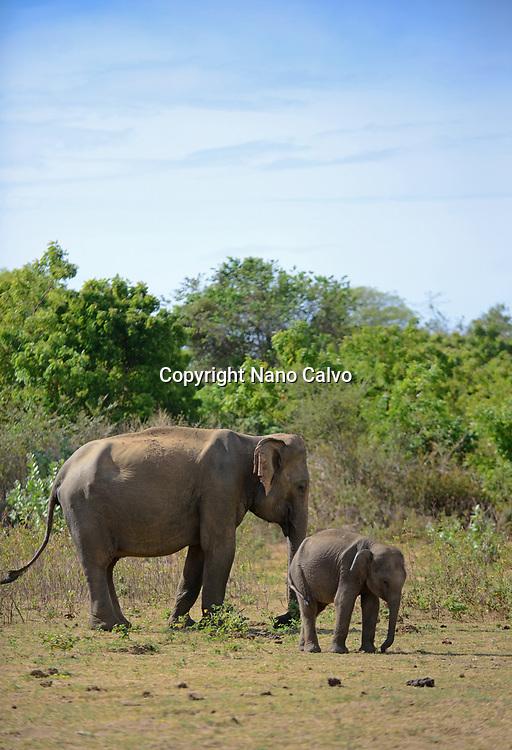 Sri Lankan elephant (Elephas maximus maximus) in Udawalawe National Park, on the boundary of Sabaragamuwa and Uva Provinces, in Sri Lanka.