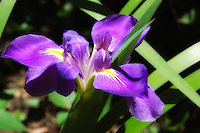 Purple Flag Iris photographed in St. Marks National Wildlife Refuge, in North Florida (Jefferson County).