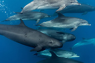 Pseudorca crassidens (False-killer whales)
