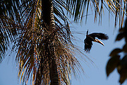 Pitangui_MG, Brasil...Tucano Toco voando entre os coqueiros em Pitangui, Minas Gerais...Toco Tucan  flying between the coconut trees in Pitangui, Minas Gerais...Foto: LEO DRUMOND / NITRO