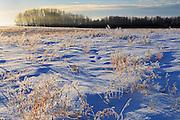 Hoarfrost covered grasses <br /> Green Acres<br /> Saskatchewan<br /> Canada