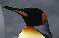 Close-up of King Penguin (Aptenodytes patagonicus)