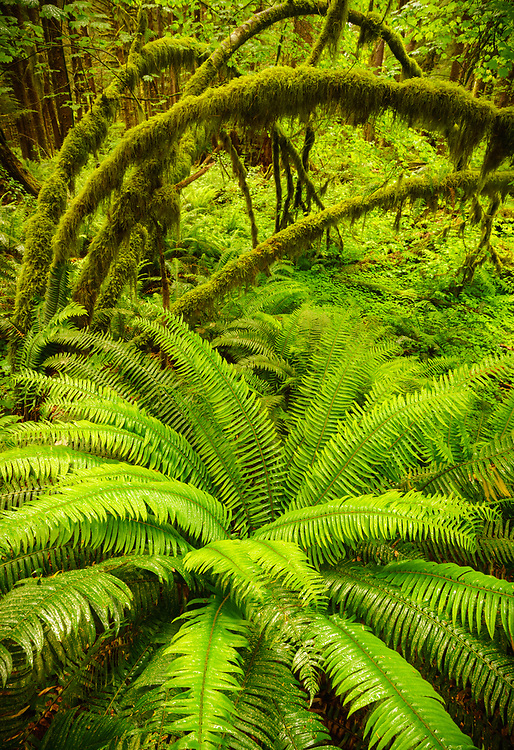 Spring ferns and vine maple, Hoh Rainforest, Olympic National Park, WA, USA