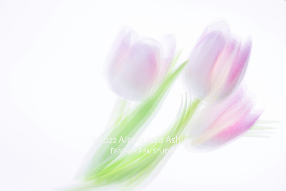 Multi-exposure montage, a trio of translucent lavender-pink tulips on luminescent background.