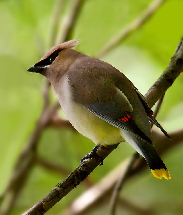 This is a cedar waxwing hidden in some bushes by the Upper Pool of the park. Summer of 2009.