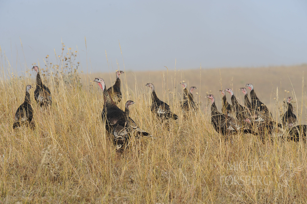 WILD TURKEY flock...Nebraska Sandhills, Cherry County..