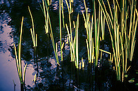 An impressionistic vision of the sun setting on reeds in a pond.