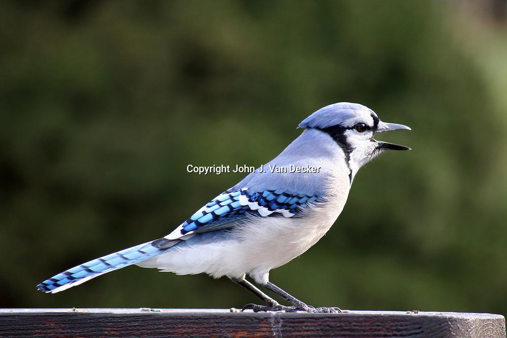 Blue Jay, Cyanocitta cristata, calling