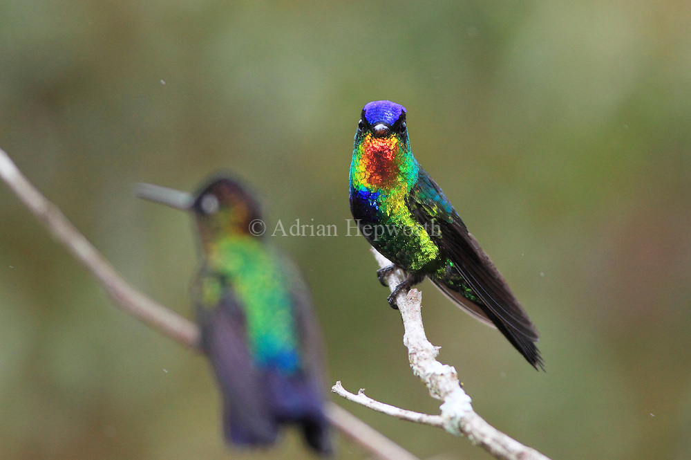 Fiery-throated hummingbird (Panterpe insignis) male staring at female of same species. Cerro de la Muerte mountain range, Costa Rica. <br />