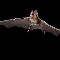 Intermediate Roundleaf Bat (Hipposideros larvatus). Yunnan, China.