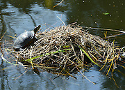 © Licensed to London News Pictures. 25/04/2013. Chiswick, UK A terrapin warms itself in the  sun. People enjoy the sunshine in the grounds of Chiswick House in West London today 25th April 2013. Photo credit : Stephen Simpson/LNP